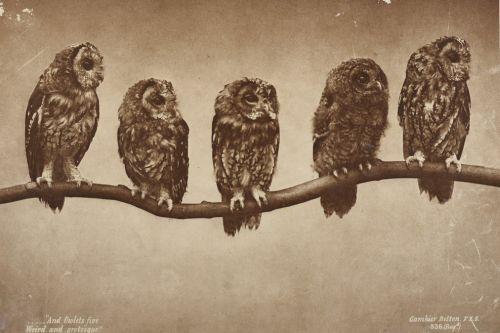 Fünf Eulen, auf einem Ast sitzend. Aufnahme: Gambier Bolton, 1890/1900